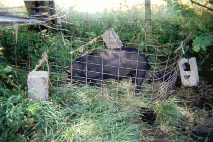 Concrete blocks tied to the hog panels keep C.G. from moving this pen around. Photo courtesy of Kevin Fall.