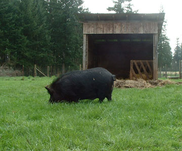 Boar grazing in front of an all-purpose 3-sided livestock shelter that faces away from prevailing winds. Photo courtesy of Audacious Acres, March 2007.