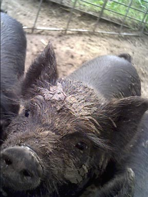 American Guinea Hog boar enjoying a snooze in the spring sun. Photo courtesy of Cascade Meadows Farm, 2006.