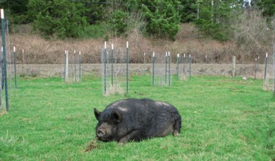 An adult boar snoozing in the orchard, where young trees are protected by 2x4 welded wire and metal t-posts. Photo courtesy of Cascade Meadows Farm, March 2007.