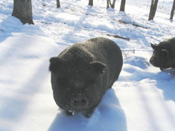 American Guinea Hogs in the New Hampshire snow! Photo courtesy of Sullbar Farm, 2006.