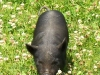 Pigs 'N Clover