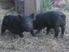 Maryland Piglets