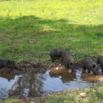 AGHA care in hot weather for hogs