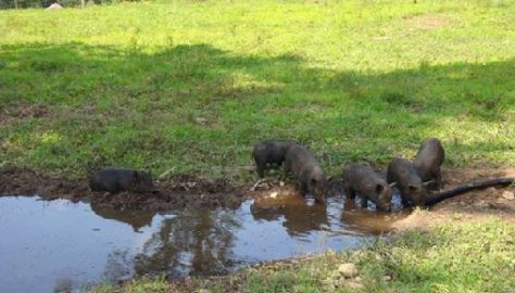 Caring for Pigs in Hot Weather