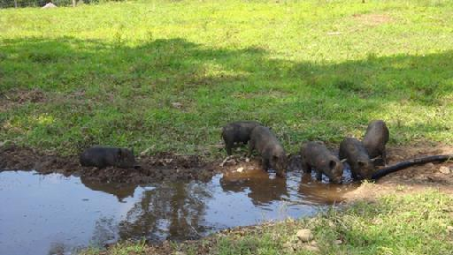 AGHA caring for Hogs in hot weather