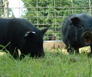 Rooting around in the dirt; you can almost hear the young boar on the right laughing with glee! Young herd of American Guinea Hogs at Audacious Acres, June 2006.