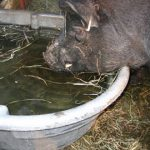 AGHA Feeding and watering hogs