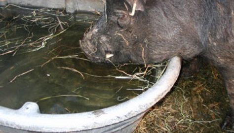 DNC George gets a drink from a Rubbermaid water tank. Photo courtesy of Sullbar Farm.