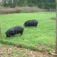 Standard field fencing topped with 2 strands of barbed wire for multi-species use. Locust post at right, metal T-post at left. Wooden stakes pounded through bottom of fence due escape tactics of a previous breed of pig. Photo courtesy of Audacious Acres, March 2007